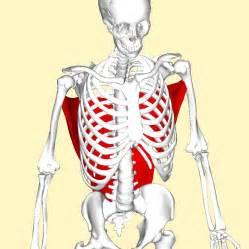 latissimus dorsi muscle picture 2