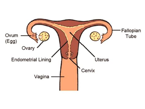 diagram of the penis in the vagina picture 7