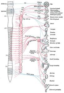vagus bladder control picture 7