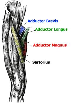 leg adductor muscle picture 5