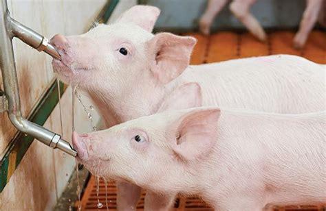 adding liquid fat to show pig diet picture 9