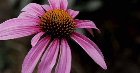 common + cold + echinacea picture 10