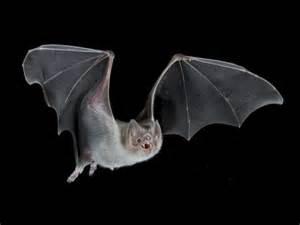 pictures of vampire bats sleeping picture 14