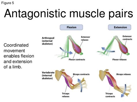 agonist and antagonist muscles list picture 5