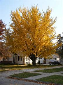 history on the ginkgo tree picture 1