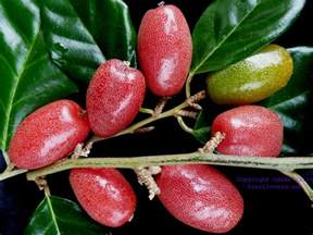where can i buy garcinia gummi-gutta fruit in picture 7