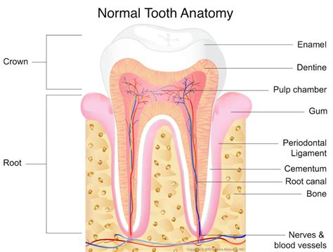 can root c teeth cause bad breath picture 11