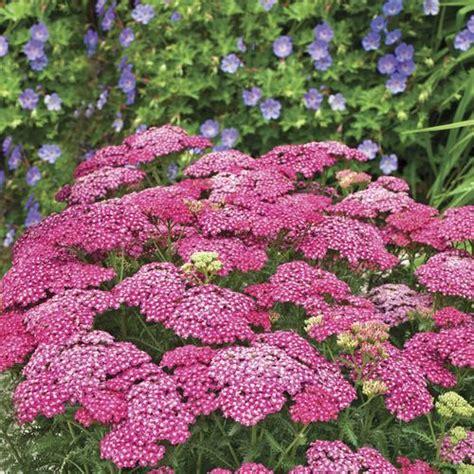 deadhead flowers yarrow picture 9