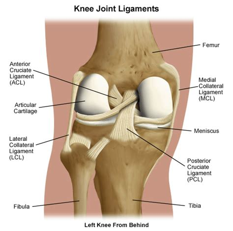 pictures of ligaments knee joint picture 2