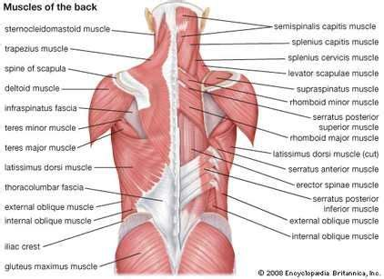creative interior back muscle picture 5