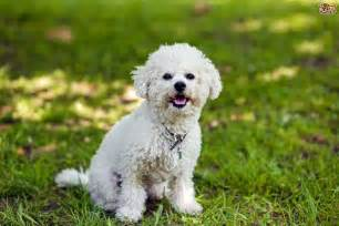 skin problems with bichons picture 9