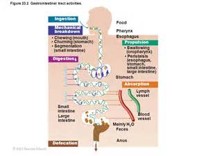 gastrointestinal tract activities picture 1