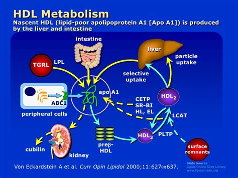 liver function and cholesterol picture 5