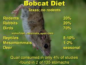 diet on bobcas picture 1
