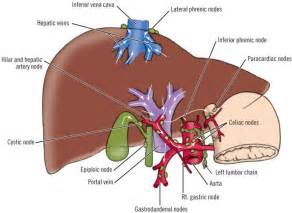 liver anatomy picture 11