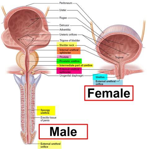Anatomy of the bladder female