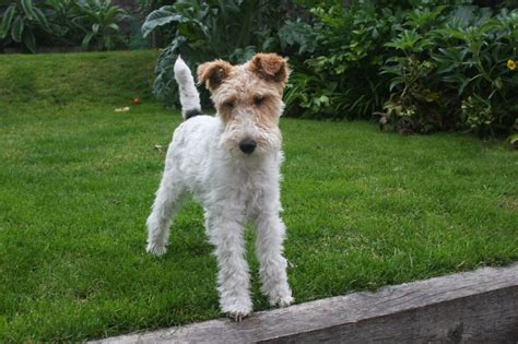 wire hair fox terriers picture 2