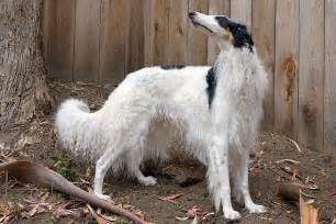borzoi and short hair picture 14
