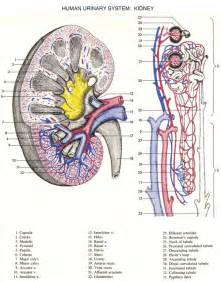 human urinary system picture 6