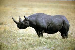 african rhino diet picture 2