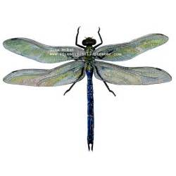 biddy dragonfly diet picture 3