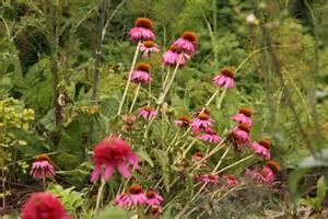 echinacea razzmatazz picture 11