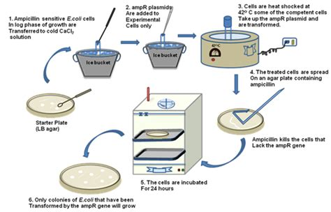 bacterial transformation method picture 7