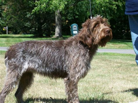 wire hair pointing griffon picture 19