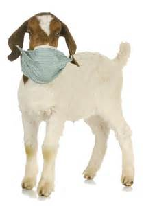 goat white muscle disease picture 5