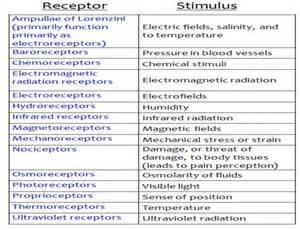 mechanoreceptors in skin picture 6