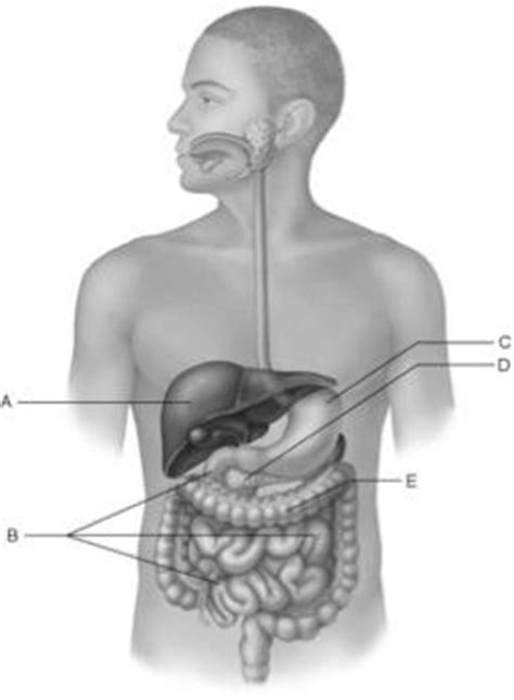 true layers of the gastrointestinal tract picture 2