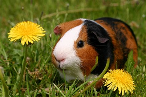 breast actives guinea pig picture 3