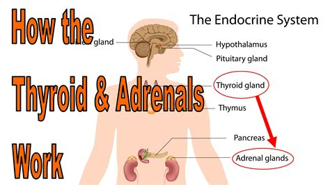 adrenal fatigue and low thyroid function picture 2