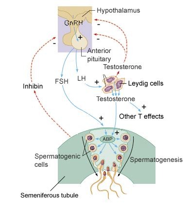 the hormone testosterone functions inside a cell by picture 10