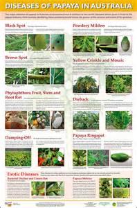 papaya disease identification picture 10