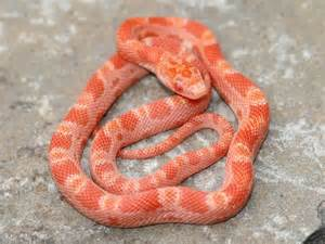 pictures of corn snake h picture 9