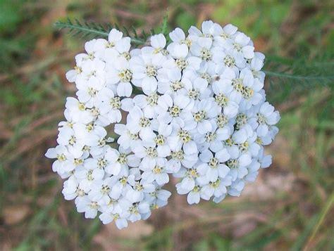 yarrow flower picture 7