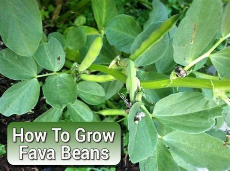 fava beans and hair growth picture 10