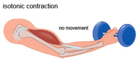 and isotonic muscle contraction picture 7
