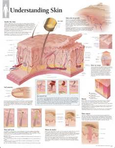 structure of skin models picture 3