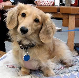 dachshund long hair picture 2