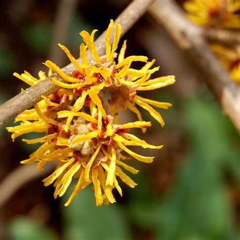 where to buy witch hazel extract in sri picture 14