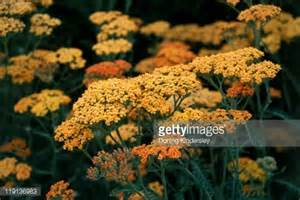 close ups of yarrow blooms picture 14