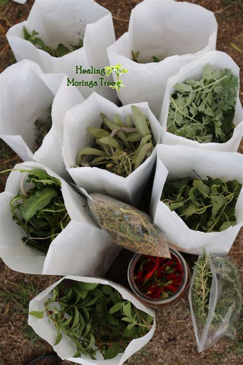 hw do one locally use herbs like moringa picture 8