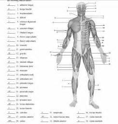 diagram of body muscle picture 17