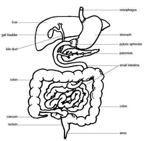 compare and contrast pig gastrointestinal system picture 9