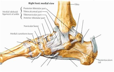 joint capsular sprain foot picture 3