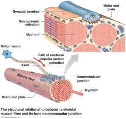 intrinsic regulation of contraction in skeletal muscle picture 3