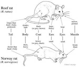 compare and contrast rat and mouse gastrointestinal system picture 15