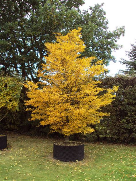 ginkgo atumn gold root system picture 14